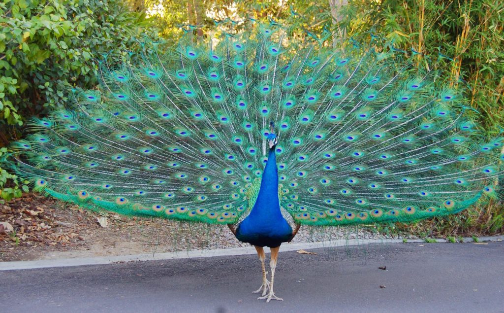 Image result for national bird of india