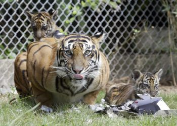 Bali :  Sean, a five-year-old Sumatran tiger, is seen her two-month-old cubs inside a cage at Bali Zoo in Bali, Indonesia, Saturday, July 28, 2018. Sumatran tiger is the world's most critically endangered tiger subspecies with fewer than 400 remain in the wild and may become extinct in the next decade due to poaching and habitat loss. AP/ PTI(AP7_28_2018_000039B)