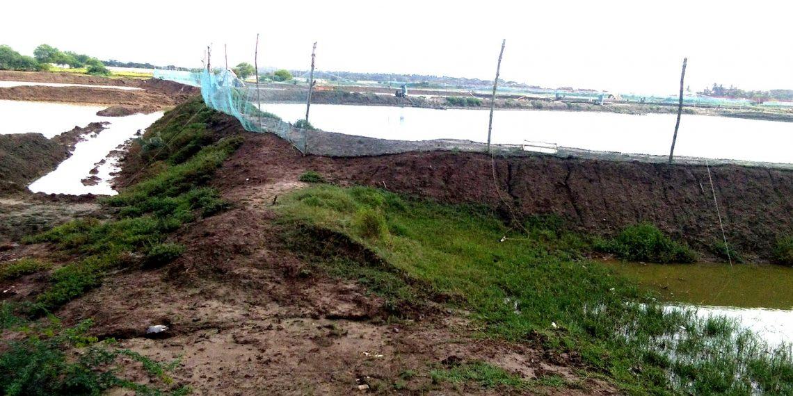 Illegal, Illegal prawn gherries hold paddy farming