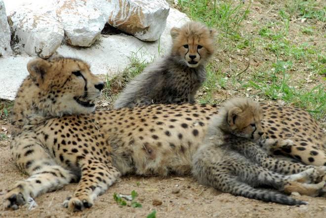 cheetah, MP govt seeks revival of cheetah reintroduction project