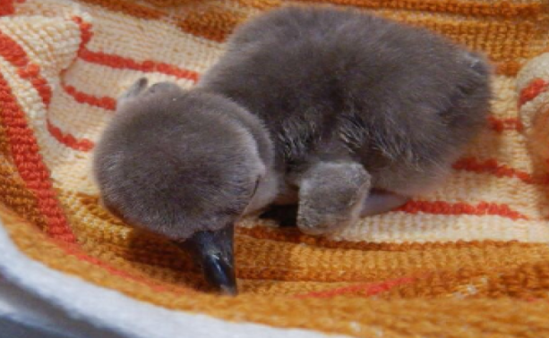 Penguin, Humbolt penguin gives birth to chick in Mumbai zoo