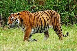 Another RBT spotted in Debrigarh sanctuary, safety measures demanded