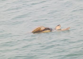 Olive Ridley mating begins in Gahirmatha