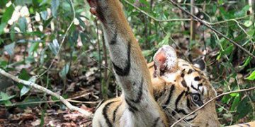 Royal Bengal Tiger 'Mahavir' death in Satkosia Demand for hunt down of snares to save the big cats