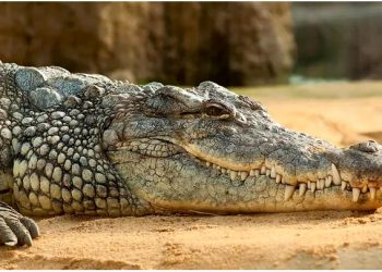 the around 130-year-old crocodile, whom they had fondly named as 'Gangaram', was next to God (Representative)