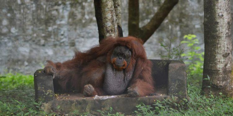 India's only orangutan