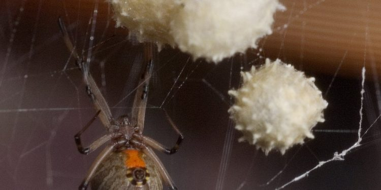 A female Brown Widow spider guards her eggs. (AP Photo/Phil Sandlin)