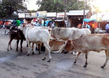 Stray cattle lay siege of Bhadrak town roads