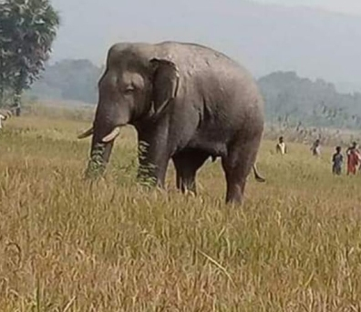 Elephants on damaging spree
