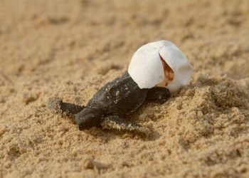 In the past 72 hours, millions of turtle hatchlings, have emerged from the eggs, which were buried in the sand, and crawled towards the sea, the Divisional Forest Officer (DFO) said (File photo)