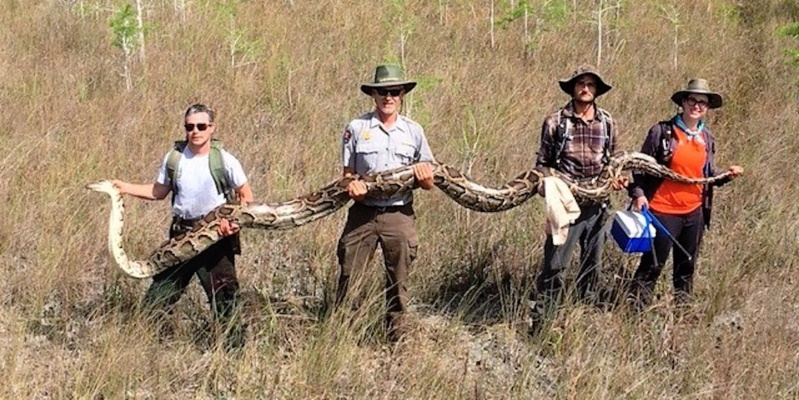 17-foot-long python captured using male python in Florida