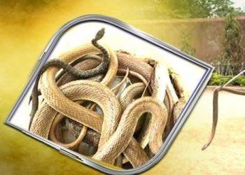 Cobra, 13 hatchlings rescued