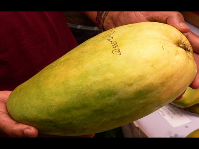 About 1400 varieties of mangoes are found in the world, out of which 1 thousand varieties are grown in India.