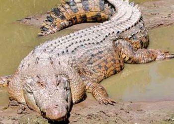 Albino crocodile Gauri leads a solitary life