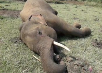 Elephant electrocuted