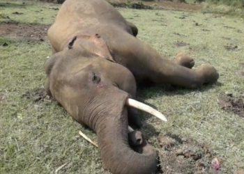 Elephant electrocuted