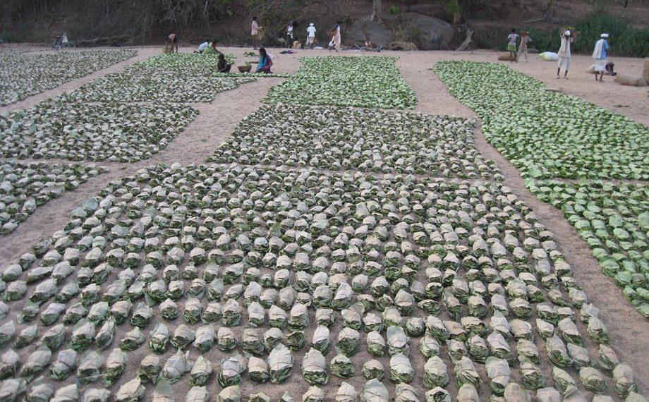 Tendu leaves are used for making 'bidis' (leaf-wrapped cigarettes). (Representational image)