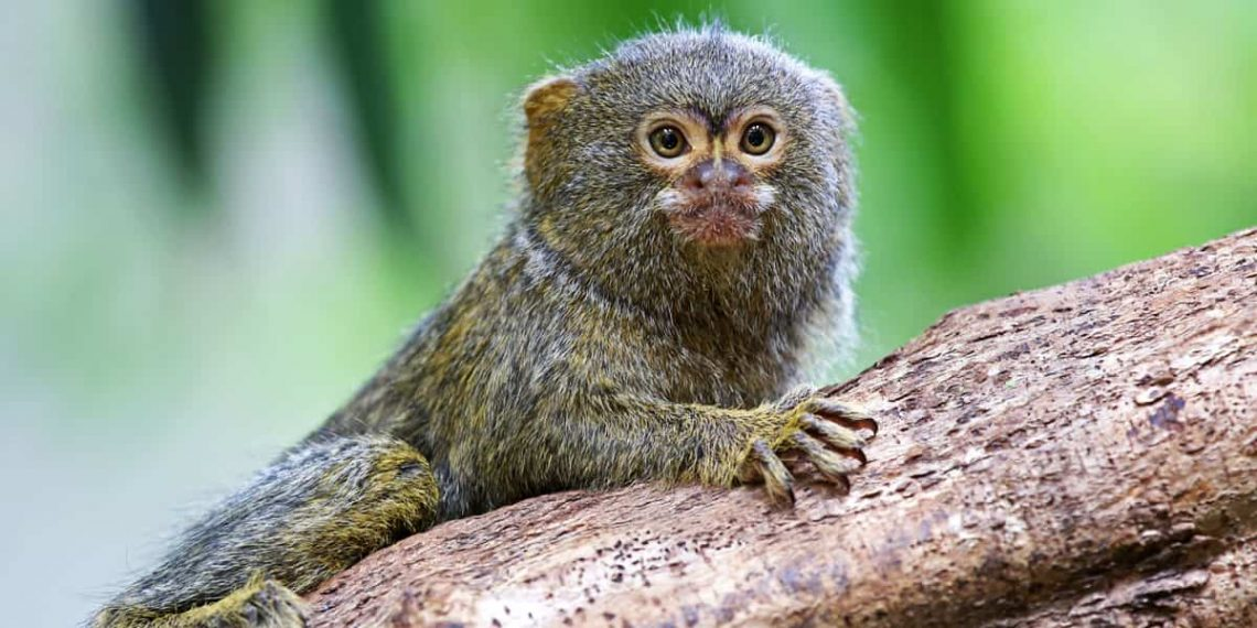 File photo of marmoset