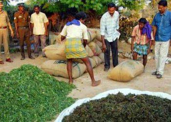 Koraput 'high' on ganja farming, smuggling
