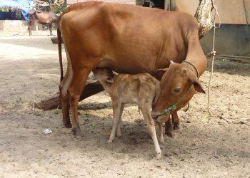 Plan to promote livestock farming flops in Dhamnagar