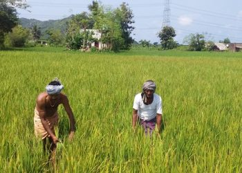 Paddy farmers fret as pest onslaught spreads