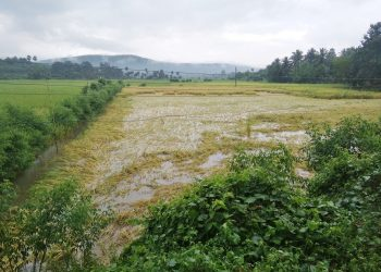 Unseasonal rains play spoilsport on vegetable, paddy cultivation