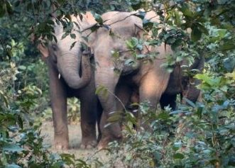 Elephant attack leaves four injured in Bargarh