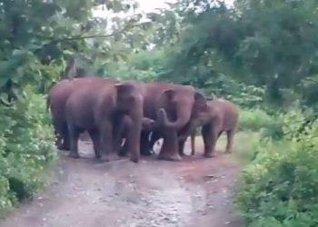 Elephant herd sighted in Mayurbhanj