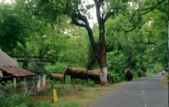 Jumbo herd wreaks havoc in Balasore district