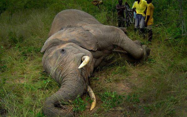 Female tusker found dead