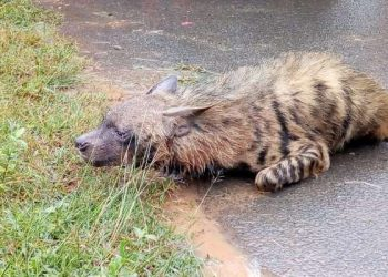 Two injured in suspected hyena attack