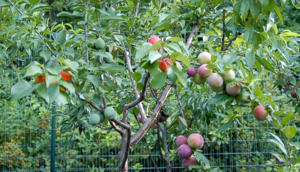 This tree grows 40 different kinds of fruits