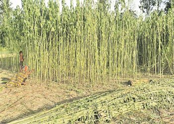 Jute farmers resort to distress sale