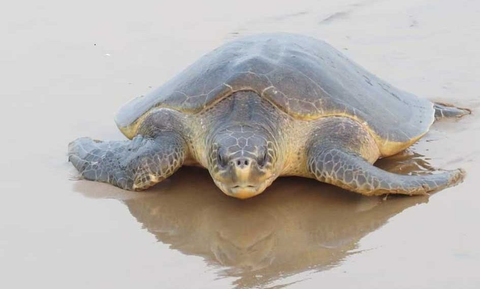 Decrease in mass nesting of Olive Ridley apprehended