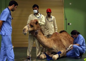 The only hospital in the world where only camels are treated