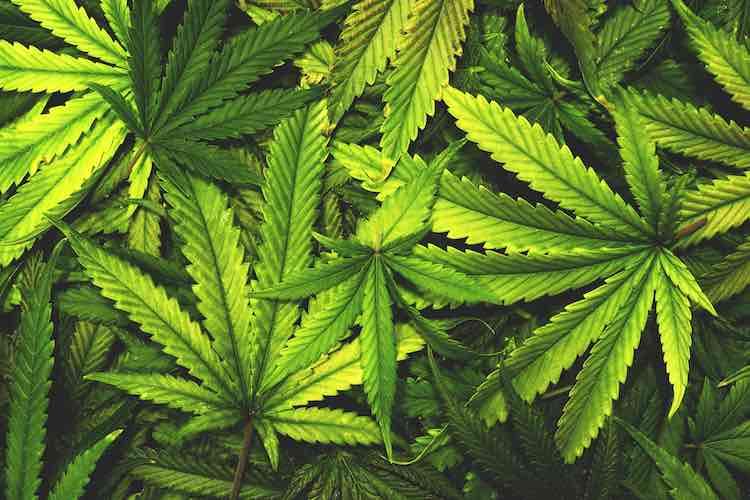 Cannabis plantation destroyed in Kandhamal