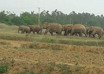 Elephant herd wreaks havoc in Karanjia