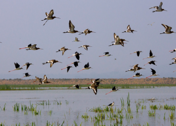 Poachers have a field day as migratory birds flock to Chilika
