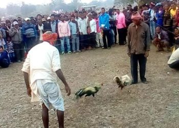 Illegal cockfight continues in Mayurbhanj as cops look away
