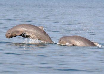 Dolphin census begins at Chilika