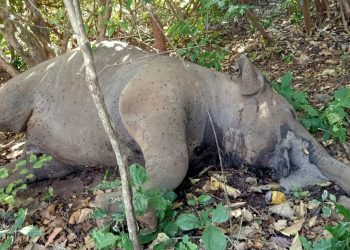 Jumbo calf found dead in Keonjhar