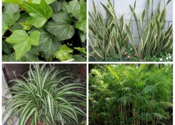 Champua is losing its medicinal plants