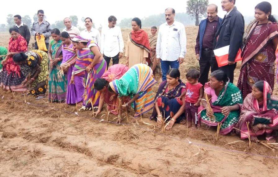 Lemongrass 'hope' for Subarnapur farmers
