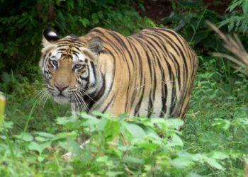 Tigress Sundari freed from radio collar