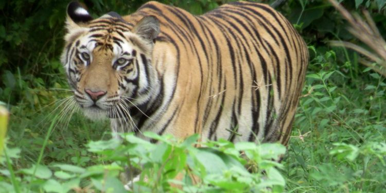 Tigress Sundari freed from radio collar