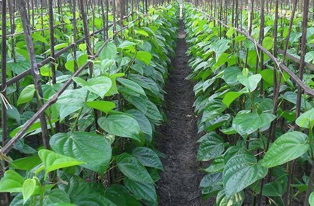 COVID-19: Lockdown woe for betel leaf farmers in Puri - OrissaPOST