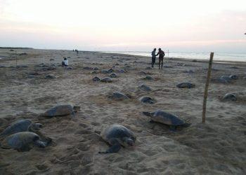 Olive Ridley sea turtles start nesting at Gahirmatha