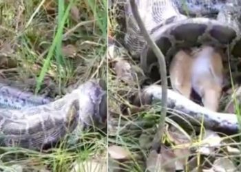 Watch: Python swallows whole deer; video goes viral