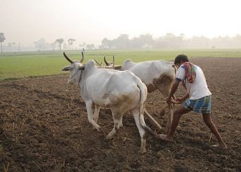 Angul farmers eye bumper harvest on the back of a timely monsoon in Odisha