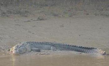 Crocodile mauls minor to death in Malkangiri